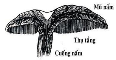 Cấu trúc nấm linh chi